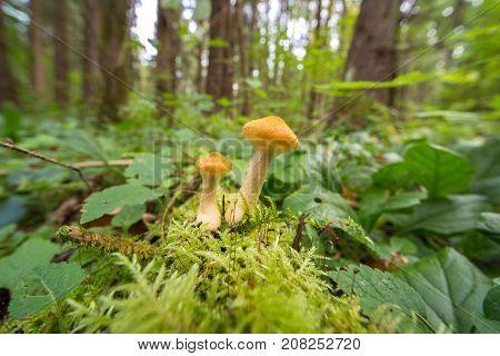 Honey Agaric Mushrooms In Autumn Forest.