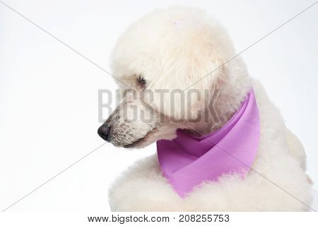 Poodle dog look on side isolated on white background