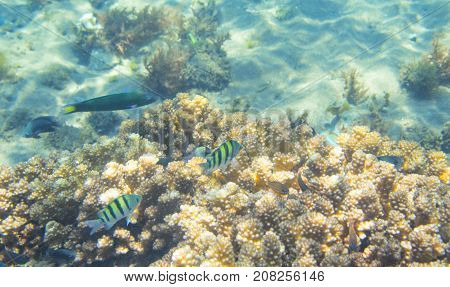 Dascillus fish family in coral. Tropical seashore inhabitants underwater photo. Coral reef animal. Warm sea nature. Colorful sea fish and corals. Undersea view of marine life. Coral reef landscape