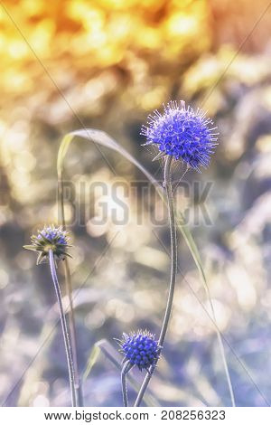 Blue sea holly or eryngo flower - eryngium planum - closeup in sunlight on the blurred bokeh background. Selective focus.