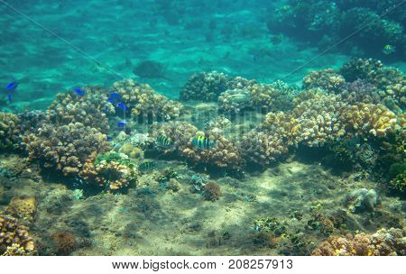 Small blue fishes in coral reef. Tropical seashore inhabitants underwater photo. Coral reef animal. Warm sea nature. Colorful sea fish and corals. Undersea view of marine life. Coral reef landscape