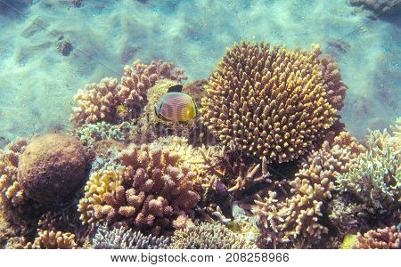 Yellow butterfly fish in coral reef. Tropical seashore inhabitants underwater photo. Coral reef animal. Warm sea nature. Colorful sea fish and coral. Undersea view of marine life. Coral reef landscape