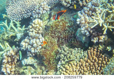Anemonefish in coral reef. Tropical seashore inhabitants underwater photo. Coral reef clownfish. Tropical sea nature. Colorful sea fish and corals. Undersea view of marine life. Coral reef landscape