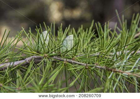 Details of a branch with small young cones of the old Lebanon Cedar Tree