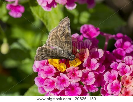 Duskywing skipper being attracted to a colorful flower.