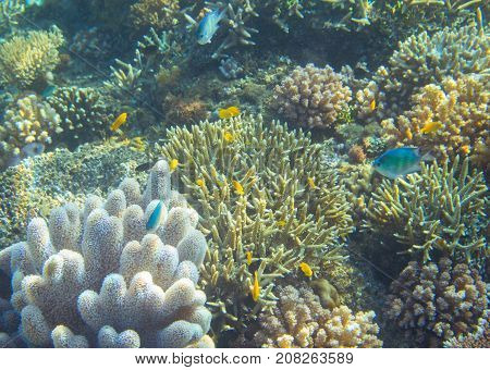 Blue and yellow fish coral reef. Tropical seashore animals underwater photo. Coral reef animal. Warm sea nature. Colorful sea fish and coral. Undersea view of marine life. Coral reef landscape