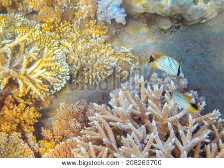 Butterflyfish in coral reef. Tropical seashore inhabitants underwater photo. Coral reef animal. Warm sea nature. Colorful sea fish and coral. Undersea view of marine life. Coral reef landscape