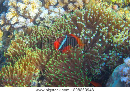 Anemonefish in actinia by coral reef. Tropical seashore inhabitant underwater photo. Coral reef animal. Warm sea nature. Colorful sea fish and coral. Undersea view of marine life. Coral reef landscape