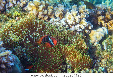 Anemonefish in actinia. Tropical seashore animal underwater photo. Coral reef animal. Natural aquarium background. Tropic sea fish and coral. Undersea view of marine life. Coral reef landscape