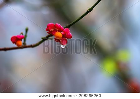 Close-up fruit of European spindle flower or Euonymus europaeus