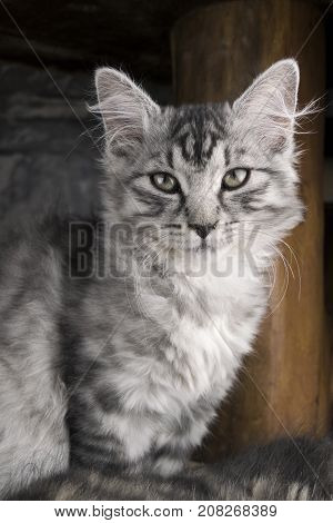 Vertical portrait of young gray cat (kitty). Photo of kitten in winter time. Cute and sweet cat (kitty) posing and looking to camera. Young cat sitting on the flor with wooden background. Cold cat.