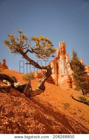 Quirky Tree in Arid Bryce Canyon Park