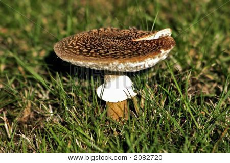 Lone Toadstool In A Field Of Grass