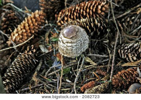 Toadstool Surrounded With A Bed Of Fir Tree Cones