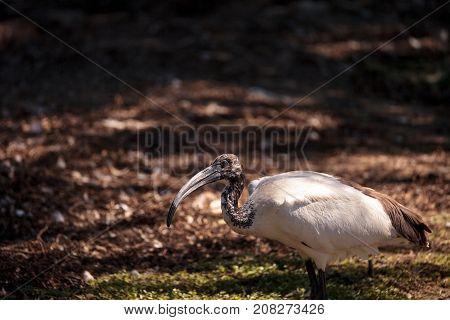 African Sacred Ibis Called Threskiornis Aethiopicus Aethiopicus