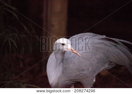 Blue Crane Called Anthropoides Paradise