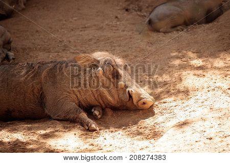 Common Warthog Phacochoerus Africanus