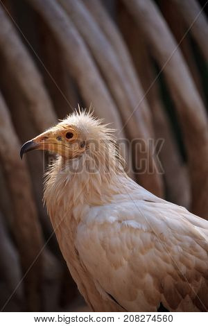 Egyptian Vulture Neophron Perscnopterus