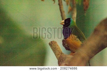 Gouldian Finch Erythrura Gouldiae