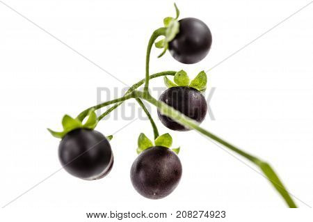Berry Of Black Nightshade, Lat. Solanum Nígrum, Poisonous Plant, Isolated On White Background