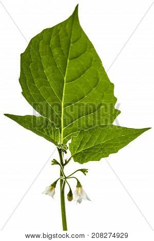 Flowers And Leaves Of Black Nightshade, Lat. Solanum Nígrum, Poisonous Plant, Isolated On White Back