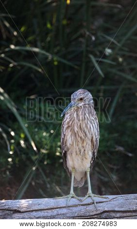 Juvenile Black-crowned Night Heron Called Nycticorax Nycticorax