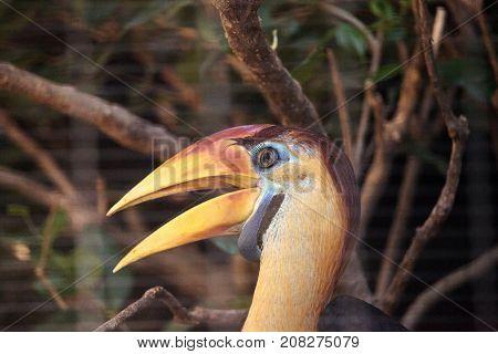 Knobbed Hornbill Bird Rhyticeros Cassidix