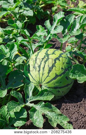 Watermelons On The Green Melon Field