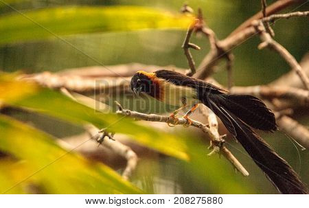 Male Long-tailed Paradise-whydah Bird Vidua Paradisaea
