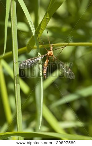 a cranefly also known as daddy long legs resting amongst vegetation poster