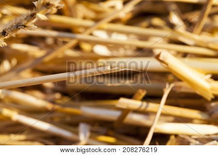 a stack of wheat straw, in which it is collected for storage. photo close-up with little depth of field. yellow straw