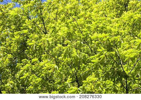 green background of spring foliage chestnut in the park. photo close-up of the treetops