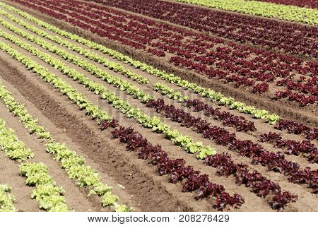 Field With Lettuce Plants