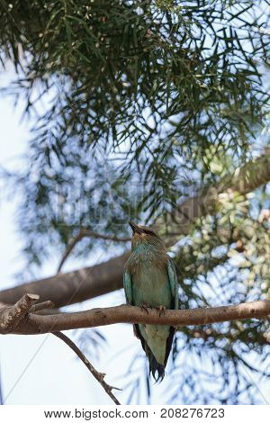 Western European Roller Called Coracias Garrulous Garrulous