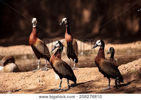 White-faced Whistling Duck Called Dendrocygna Viduata