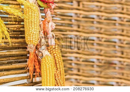 Dried gold corn as a decoration hanging on a wooden fence indoor. Copy space