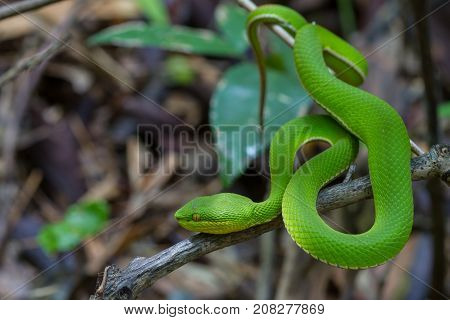 Close Up Yellow-lipped Green Pit Viper Snake