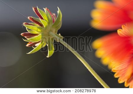New back-lit flower bud with stem in front of dark background beside flourished flowers.
