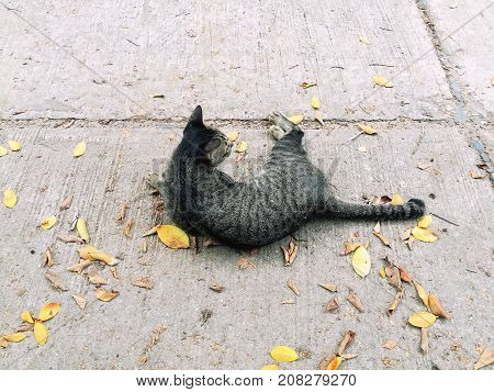 Tabby cay lay down and play on the concrete floor among autumn leaves.