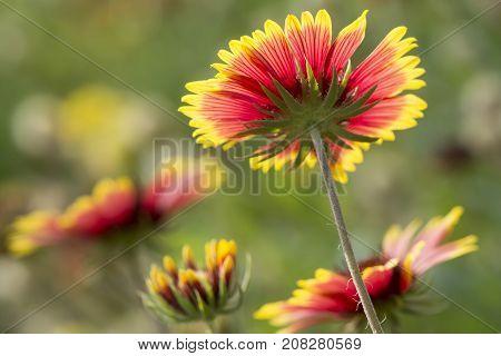 Underside of beautiful back-lit flowers in full blooming in outdoor parks