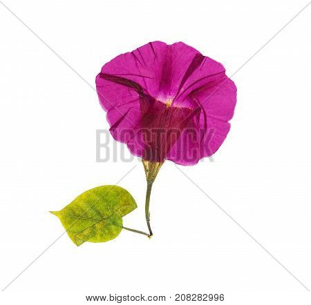 Pressed and dried flower morning-glory or Ipomoea isolated on white background. For use in scrapbooking floristry or herbarium.