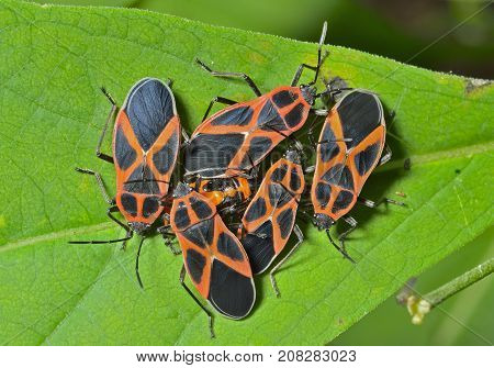 A close up of the red and black bugs (Pyrrhocoris apterus) on leaf imago and larva.