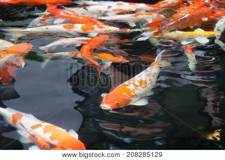 Gold, Red, Orange Carp In The Black Water. Fancy Carp Or Koi Fish Swimming At Pond.