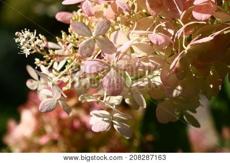 Flowers in a hydrangea inflorescence have started to redden.
