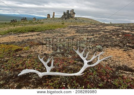 Tundra landscape with old reindeer antlers