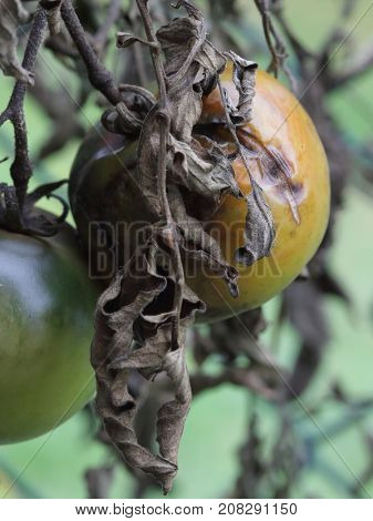 Rotten tomato at winter time - close up