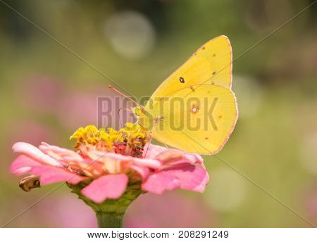 Ventral view of a Clouded Sulphur butterfly feeding on a pink Zinnia