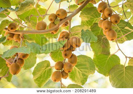 Big plantation of kiwi fruit
