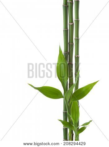 Three branches  of  Bamboo isolated on white background.  Sander's Dracaena poster