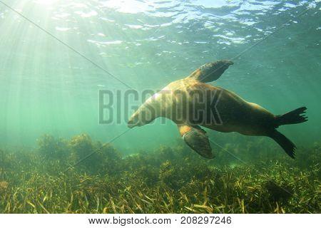 Australian Sea Lion